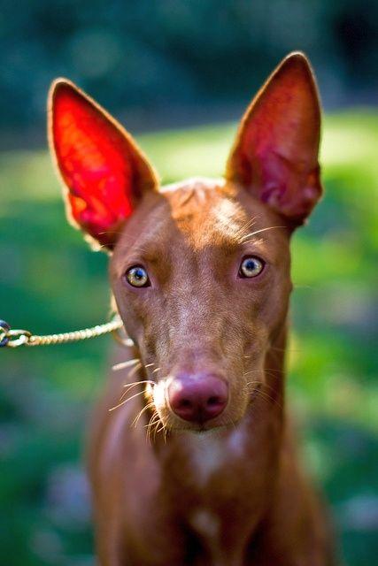 Фараоновы собаки - охотничья порода, имеющая выраженную злобу к зверю. Следует соблюдать осторожность и не снимать с собаки поводок, если поблизости могут находиться какие-либо животные