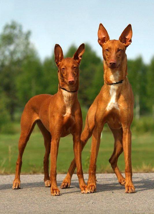 Фараонова собака - ближайшая родственница египетским собакам, которые сопровождали фараонов на охоте