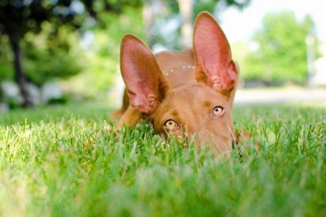 Чувство стыда заставляет собаку краснеть в прямом смысле этого слова - у совестливого пса начинают краснеть ободки глаз, ушки, мочка носа