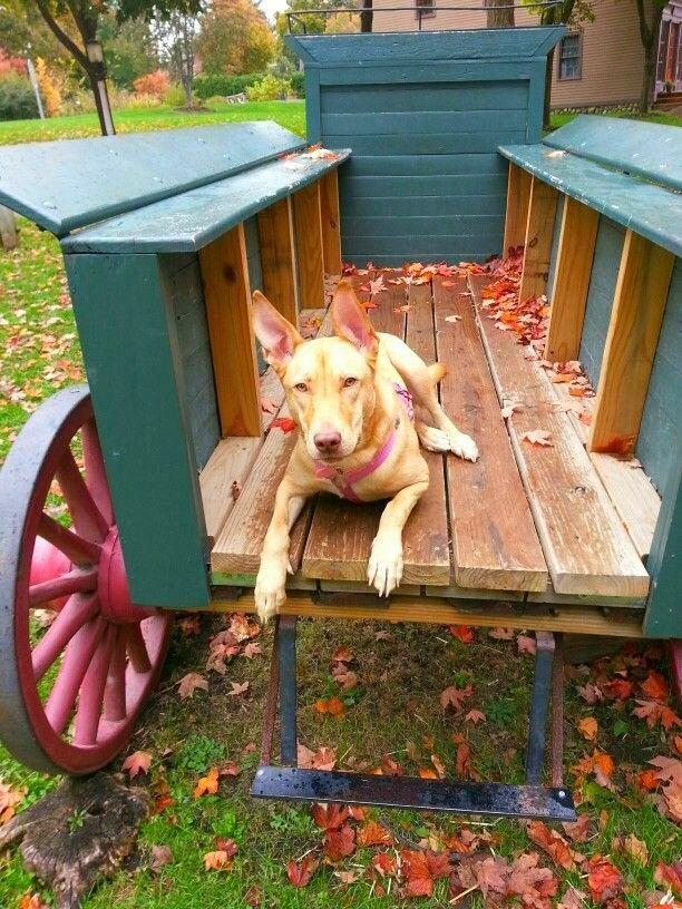 Фараоновы собаки очень умны и независимы, способны принимать самостоятельное решение. Если животное посчитает приказ хозяина неправильным, то выполнять его не будет