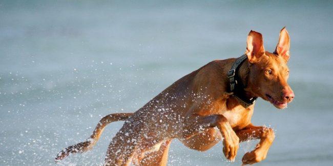 Фараонова собака очень активна и энергична, жизнь в городской квартире станет для нее настоящим заточением. Хотя животное и смирится с предоставленными ему условиями, о свободе будет мечтать постоянно, ему необходимо, чтобы под ногами был не паркет, а земля и трава