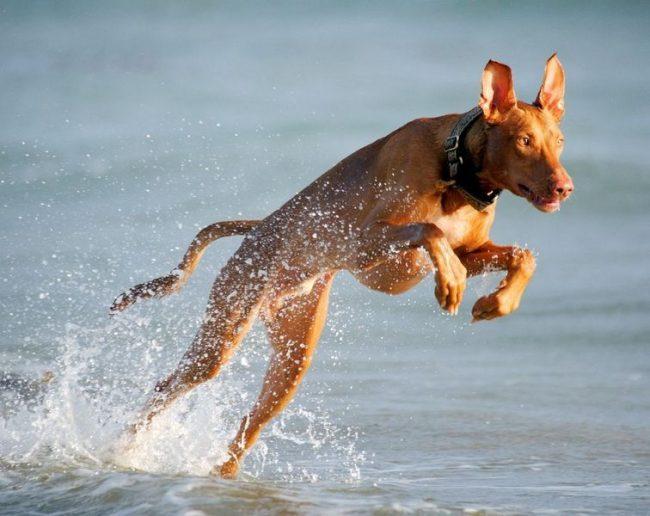 """Второе место списка """"Самая дорогая порода собак в мире"""" занимает фараонова собака стоимостью от 1 до 7 тыс. дол."""