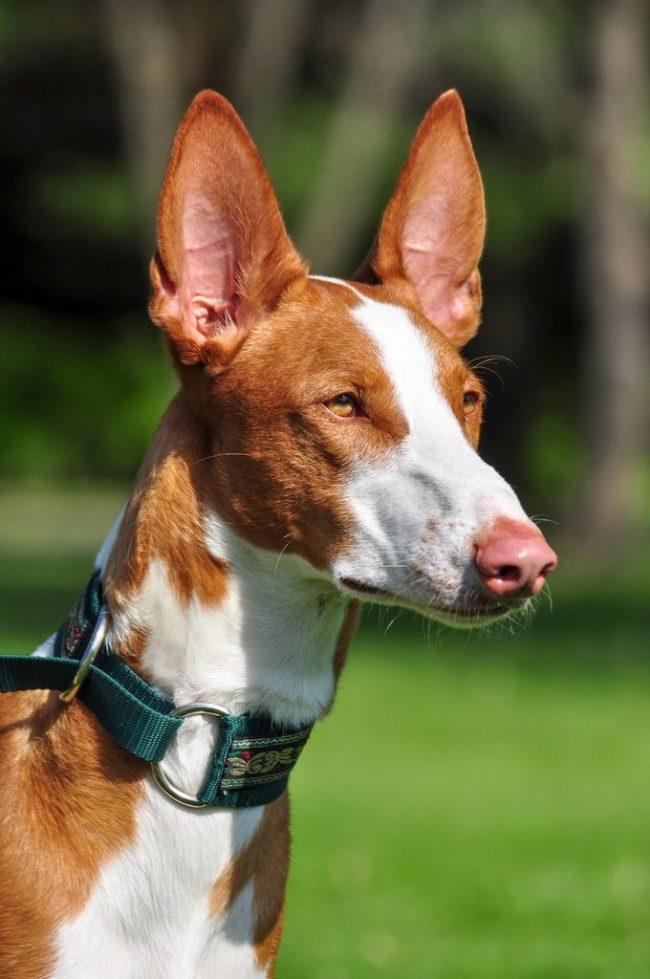 Фараоновы собаки очень активны и игривы, имеют огромный запас энергии, поэтому им необходимы ежедневные физические нагрузки