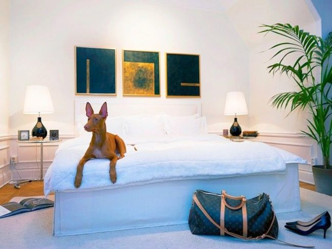 Фараонова собака любит жить в чистоте и уюте