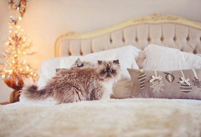 Гималайская кошка умеет подбирать постельное белье, которое будет гармонично смотреться с её красивой шерстью
