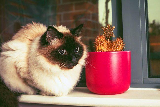 Бирмы - очень спокойные по характеру и нежные кошки с хорошими манерами