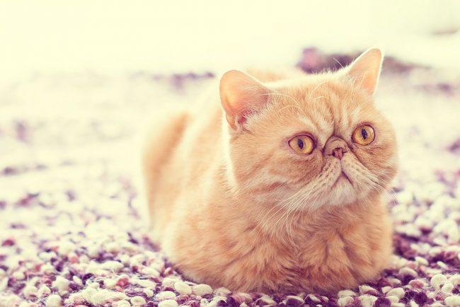 Такое милое и детское выражение лица имеют только экзотические кошки