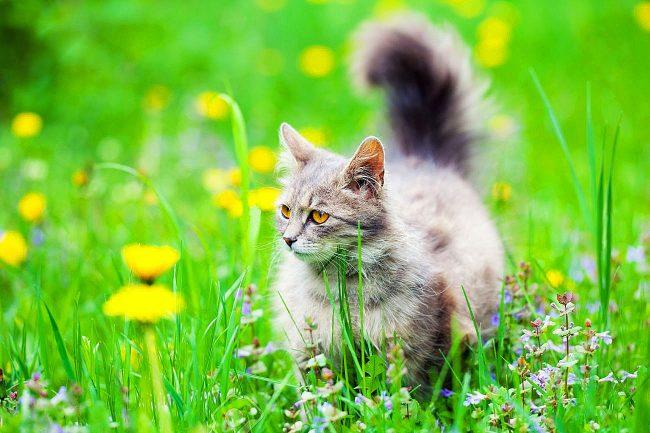 Сибирская кошка - любительница долгих прогулок по зеленой траве
