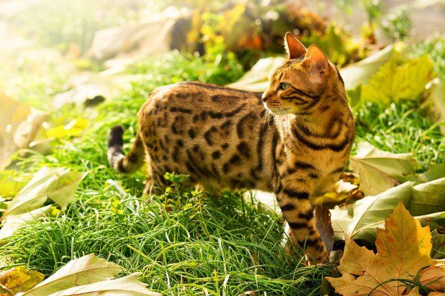 Бенгальская кошка не мыслит свою жизнь без охоты