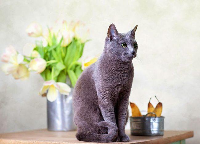 Русская голубая кошка всегда была любимицей изысканных аристократов