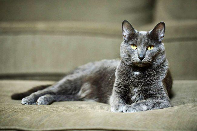 Корат - благородное название породы кошки, которая приносит в дом счастье, богатство и успех!