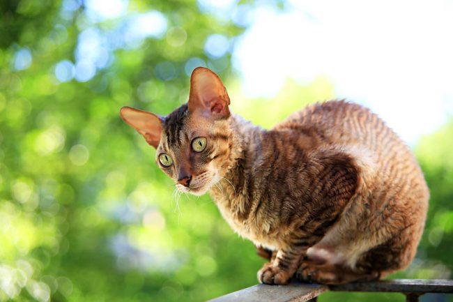 Корниш-рекс настолько любопытная кошка, что готова целыми днями сидеть на балконе и наблюдать за тем, что происходит вокруг
