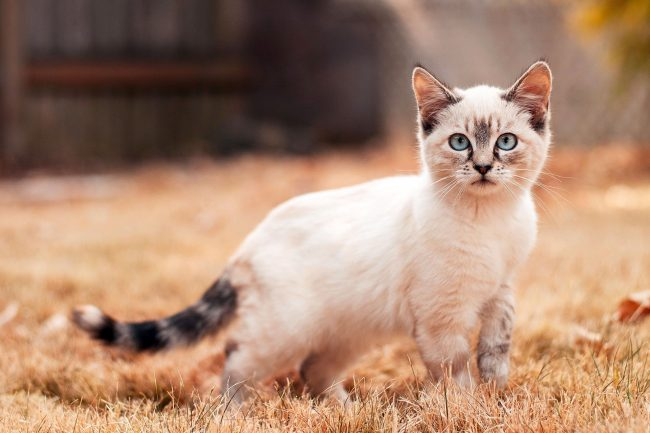 Балийские кошки очень чувствительны и общительны, поэтому большую часть времени любят проводить в компании людей