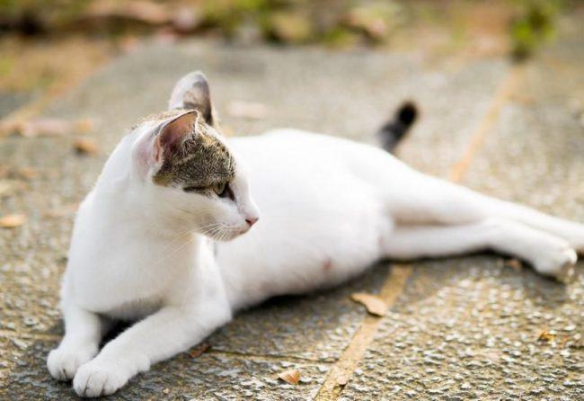 Период беременности у кошек