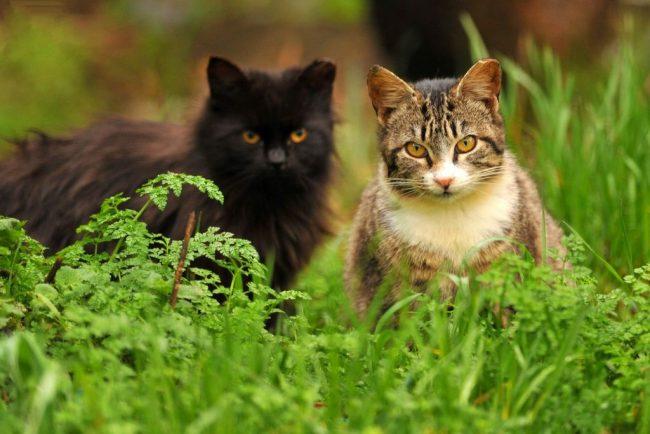 Во время беременности кошка, не только ее живот, принимает округлые формы