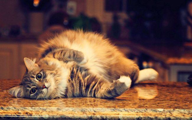 В зависимости от периода беременности, кошка ведет себя по-разному: то спит целыми днями, то начинает активничать