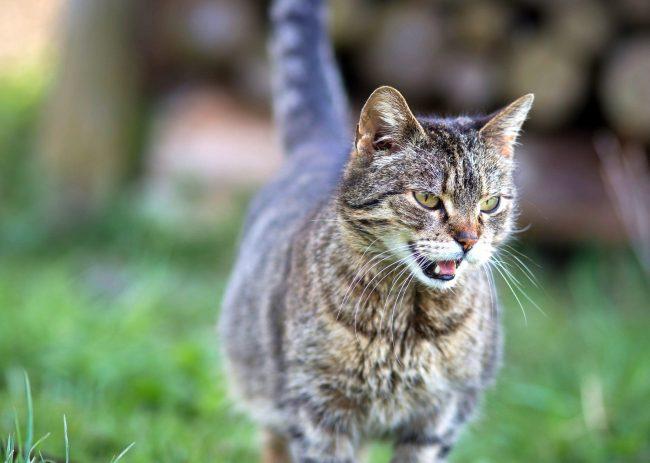 В среднем беременность у кошек длится 9 недель