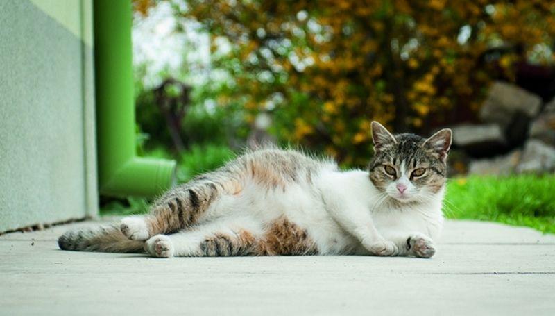 Беременность у кошки: сколько длится вынашивание котят, как понять, что питомица беременна и другие аспекты