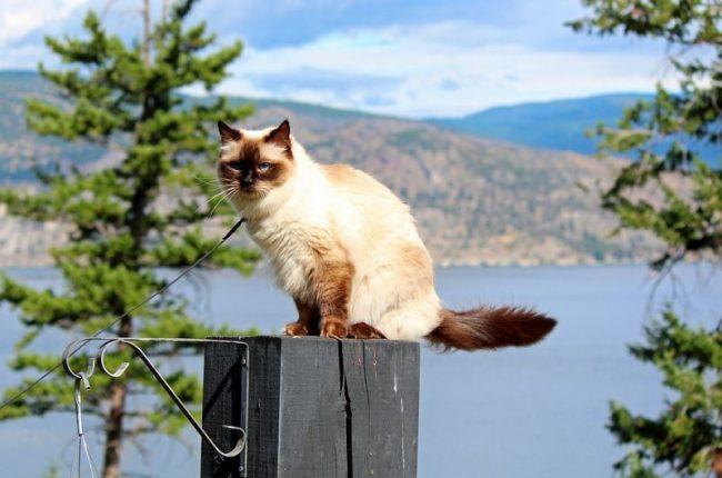 Рэгдолл – изумляющая, шикарная кошка с прекрасной внешностью и чудесным нравом