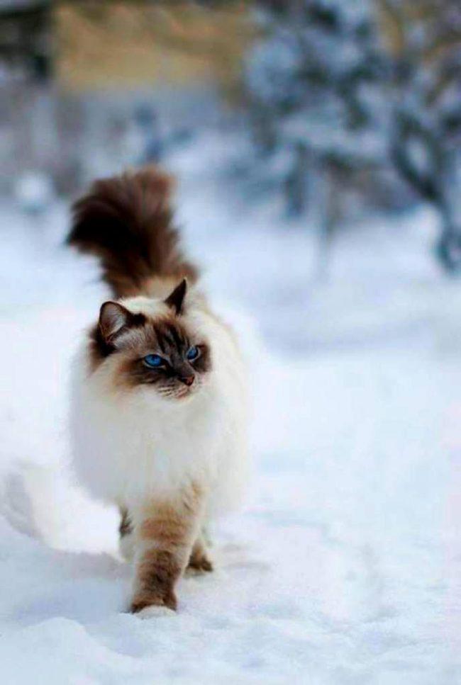 Кошки рэгдолл любят гулять на улице, однако не стоит оставлять их там одних. За ними постоянно нужен глаз да глаз