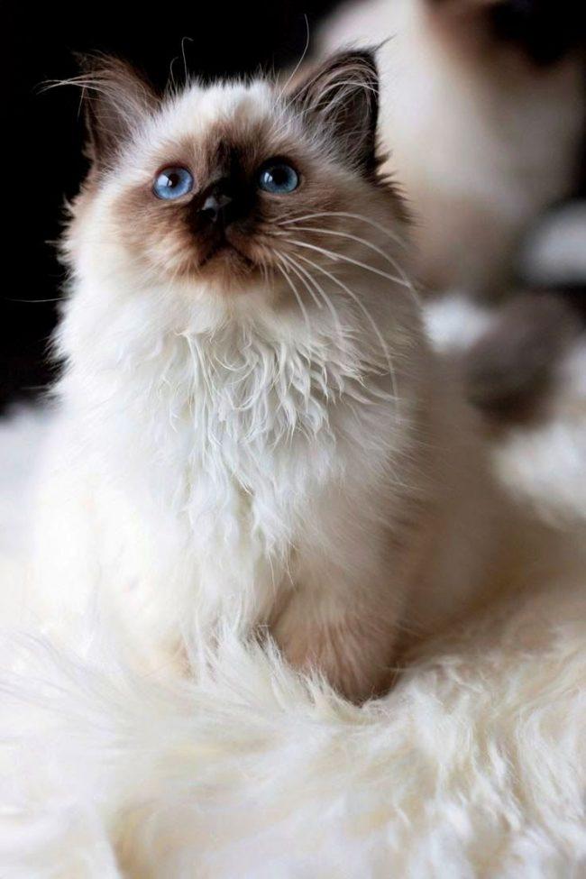 """Название рэгдолл, что в переводе с английского означает """"тряпичная кукла"""", кошка получила за свое умение расслабляться и низкий тонус мышц. Когда берешь ее в руки, такой ощущение, что это настоящая тряпичная кукла"""