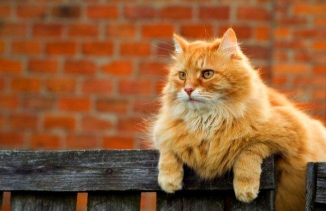 Как будет по английски рыжий кот