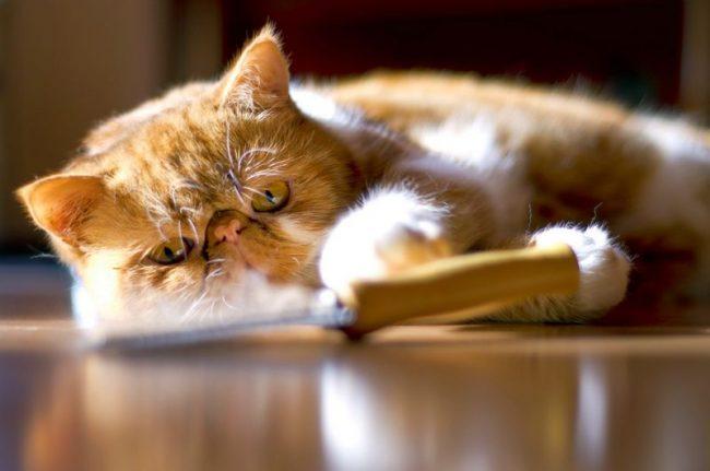 Дерзкие, независимые, хитрые, ласковые, покладистые, веселые и необычайно умные, рыжие коты настолько многообразны в своем поведении, что, даже прожив с ними не один год, вы не перестанете открывать в них новые качества