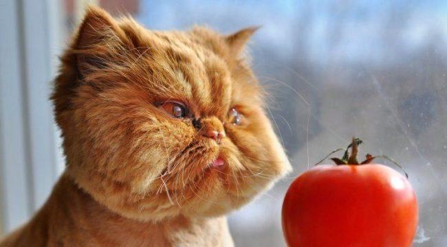 Рыжий кот практикует гипноз. Вот сейчас это помидор превратиться в кусок мяса
