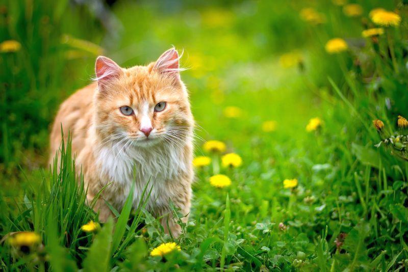 Red_cat_13.jpg