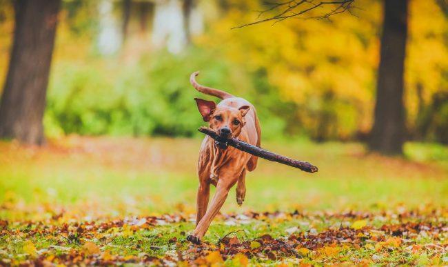 Некогда родезийский риджбек участвовал в охоте на львов, сейчас же в основном используется как охранная собака