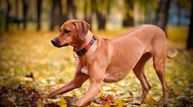 Рацион активных собак должен состоять из белковой пищи
