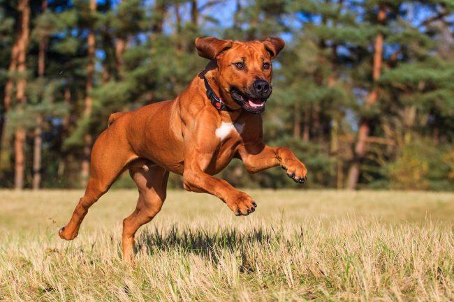 Родезийский риджбек обожает бегать, прыгать, дурачиться, но не валяться в грязи – он очень чистоплотный