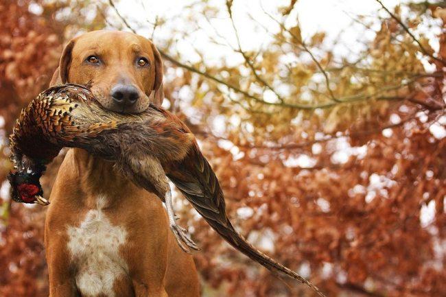 Родезийский риджбек - опытный охотник