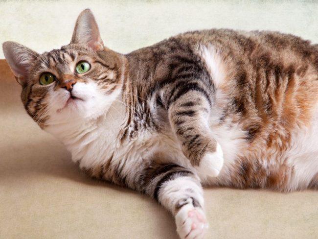 Беременность кошки длится 63-65 дней. Бывает так, что роды начинаются через 70 дней после зачатия