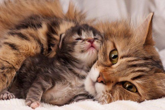 Еще не родившиеся котята буквально опустошают все запасы кальция в организме кошки, и у нее может возникнуть эклампсия. Надо сделать мамашке двух- или трехдневный курс, вводя ей внутримышечно 0.5-1 мл 10% раствора глюконата кальция