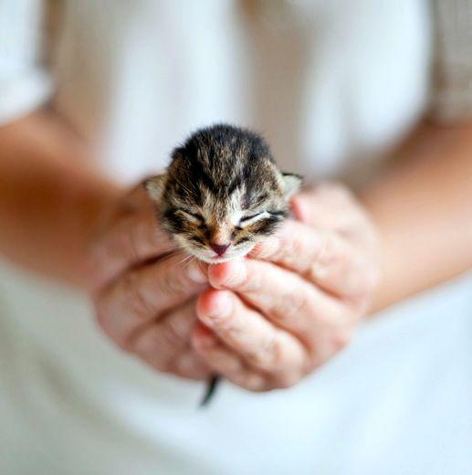 Если родившийся котенок не дышит, положите его между ладонями и нежно сгибайте-разгибайте тельце так, чтобы его коленки доставали до груди. Носик направляйте к полу, вниз