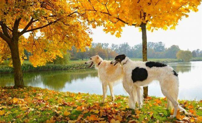 Порода собак русская гончая отличается такими чертами, как: хорошее чутье, звонкий голос, стайность, верность, неутомимость