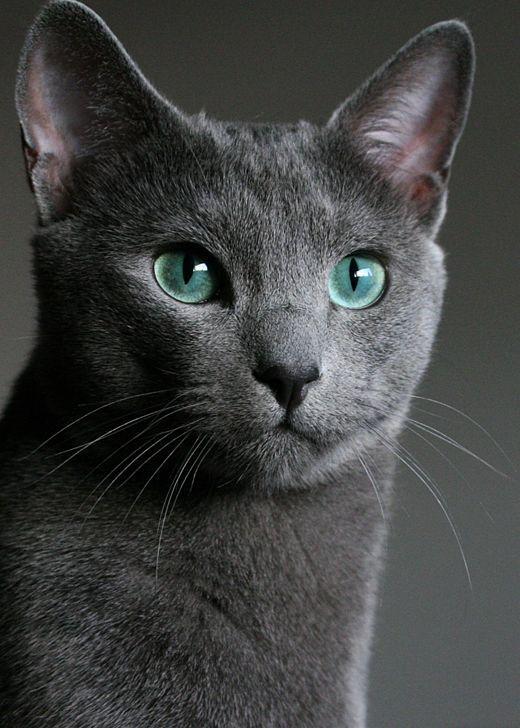Русская голубая кошка - самая популярная из короткошерстных кошачьих пород в мире
