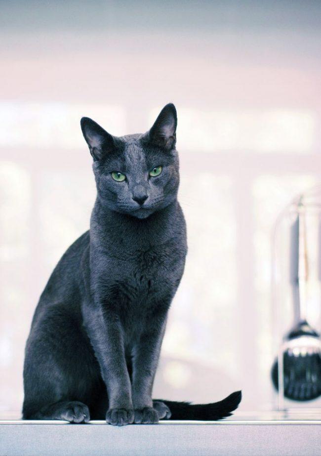 Кошки этой породы считаются интеллектуалами. Они быстро учатся понимать слова и жесты человека