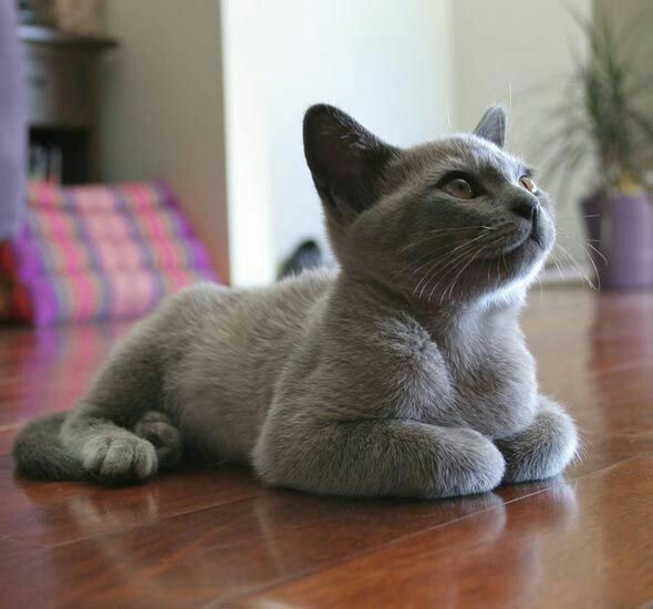 Во время игр русская голубая кошка не выпускает коготки, так что можно не бояться, что она поранит ребенка