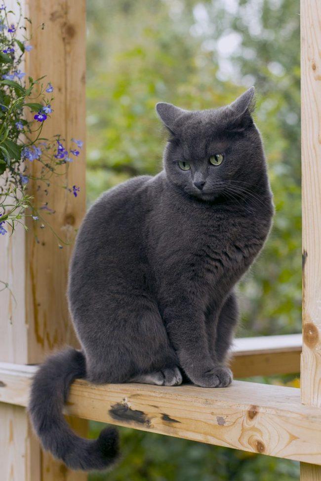 Русская голубая кошка довольно чистоплотная порода, она очень чувствительна к чистоте лотка. В недостаточно чистый лоток кошка не станет ходить. Она сделает свои дела в другом месте