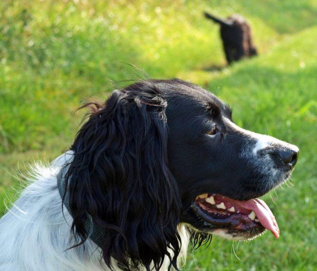 Собаку русский охотничий спаниель успешно используют для охоты на небольших животных, уток, гусей, глухарей, куропаток, болотных птиц