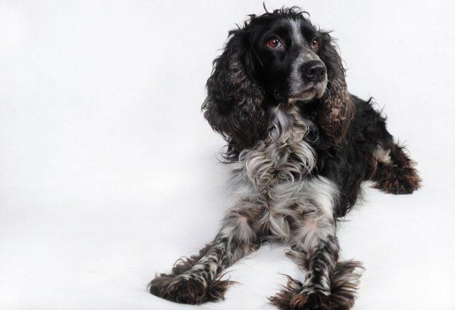 Русский спаниель - это охотничья собака, и держать ее постоянно в качестве домашнего любимца, значит ущемлять в ней природные инстинкты. Животное не будет полностью выражено в своем естестве
