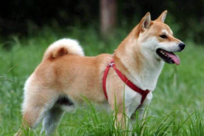 Порода сансю относится к служебным. Эта собака прекрасный сторож, сильная и выносливая, красивая и верная