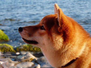 Японские породы собак (фото): названия собак из Японии