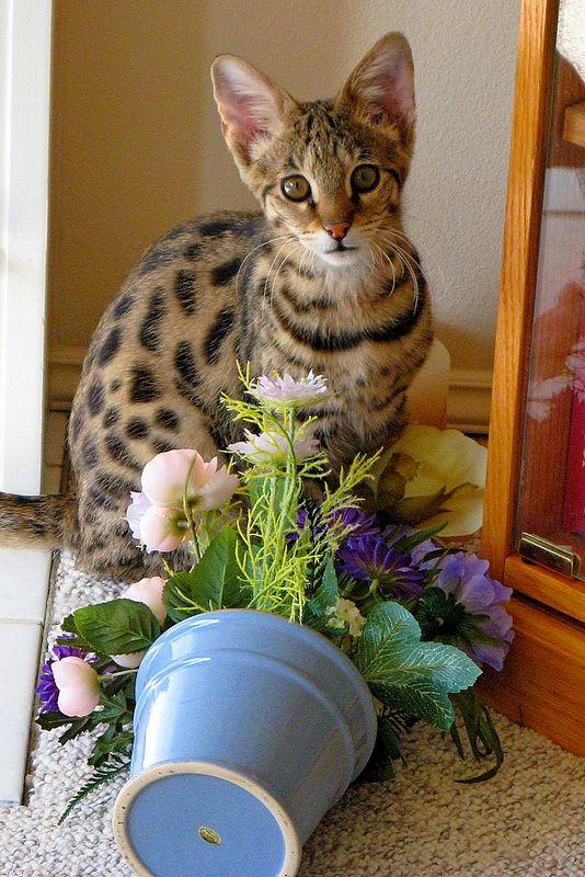 Саванна – это самая дорогая порода кошек в мире, фото которой говорит само за себя – от этих кошек невозможно отвести взгляд