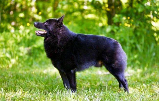 Похожий на волка, шипперке является прекрасным охотником