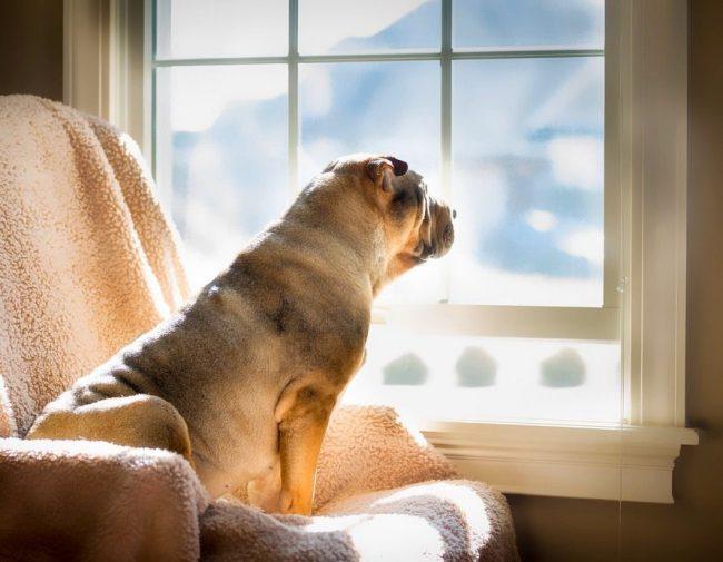 Даже оставшись одной в квартире, собака шарпей никогда не будет портить имущество, несмотря на то, что она будет сильно тосковать по людям