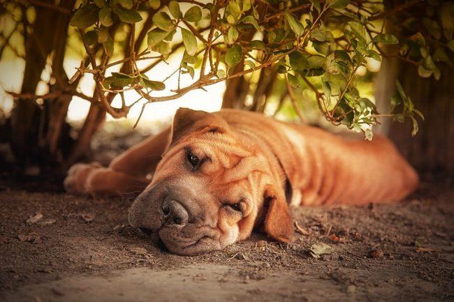 Собака шарпей обладает отменным иммунитетом, болеет крайне редко. Заболевания и неприятные симптомы у собак этой породы получают развитие, разве что, при условиях неправильного ухода и кормления