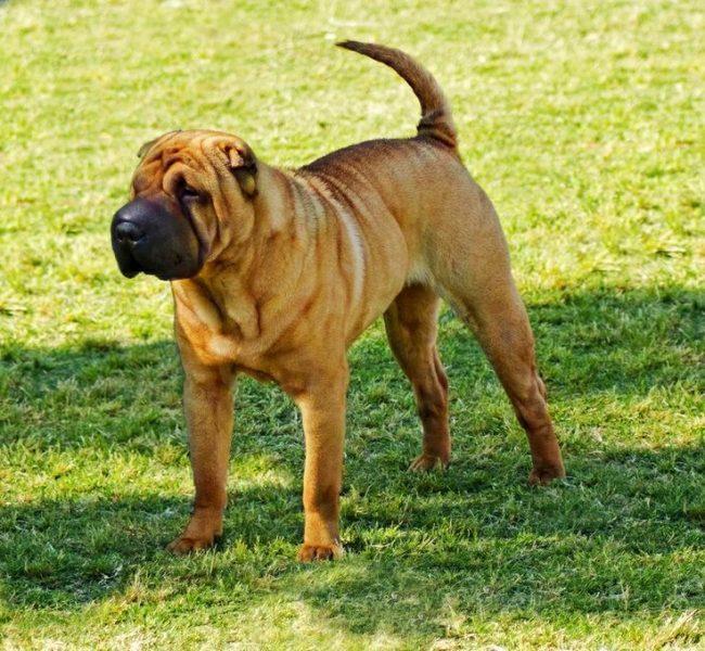 Собака шарпей - царственная и загадочная порода, известная своей независимостью. Хотя внешность шарпея может показаться неуклюжей и хмурой, обладатели собак не задумываясь расскажут о добром сердце этого зверя, его мужественном характере и преданности всем членам семьи